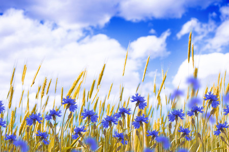 Field cornflower blue flowers against the background of the summer landscape. Stok Fotoğraf