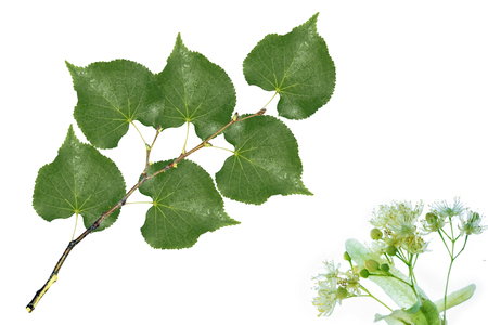 Colorful linden flowers isolated on white background.
