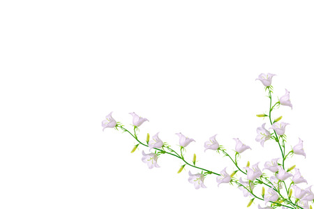 Bright colorful bellflow flower on a white background. Floral background.