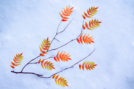 Bright and colorful foliage in the snow