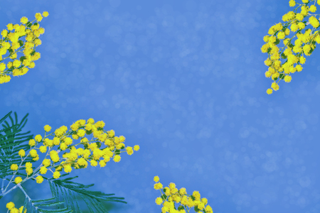 Bush of yellow spring flowers mimosa. Floral background. Stock Photo