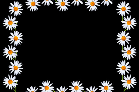 daisies summer white flower isolated on black background