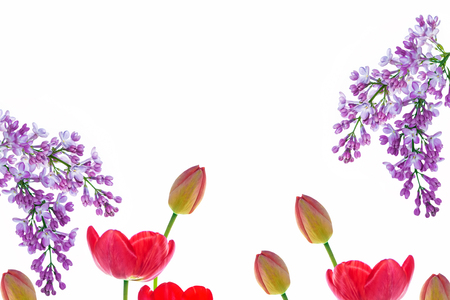 Spring flowers tulips isolated on white background. Lilac