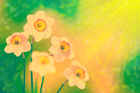 Bright and colorful flowers of daffodils on the background of the spring landscape
