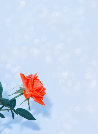 Bright colorful flower rose. Floral background. Stock Photo