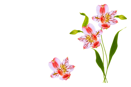 Bright alstroemeria flowers isolated on white background. Stock Photo
