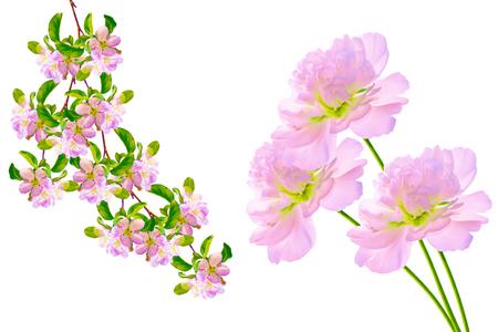 Spring flowers peony isolated on white background. Apple tree Stock Photo