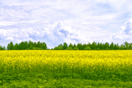 Summer landscape. Field with bright yellow rapeseed flowers
