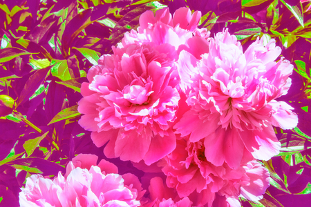 Colorful peony flowers on a background of the autumn landscape