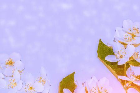Natural floral background. Colorful spring jasmine flowers