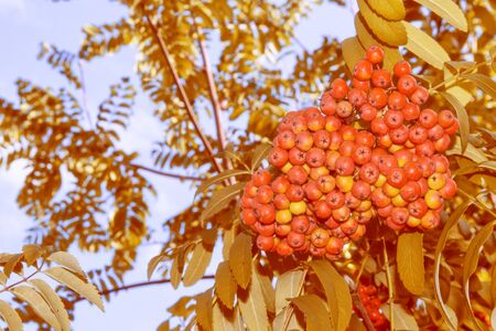 Rowan berries, Sorbus aucuparia, tree mountain ash. autumn landscape with bright colorful foliage. Indian summer. 写真素材