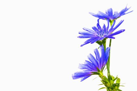 Chicory flower with leaf isolated on white background. nature Stockfoto