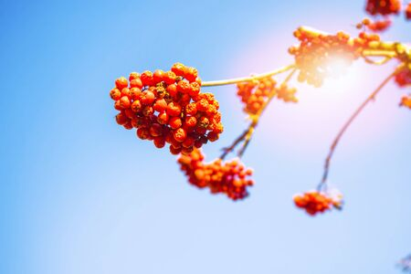 Rowan berries, Sorbus aucuparia, tree mountain ash. autumn landscape with bright colorful foliage. Indian summer. Zdjęcie Seryjne