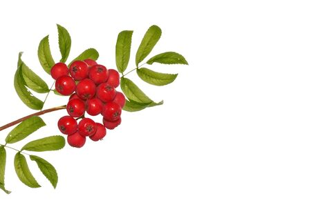 Bunches of red rowan berries on a white background Banco de Imagens