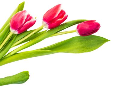 spring flowers tulips isolated on white background. Banco de Imagens