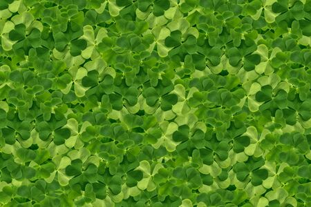 green clover leaves. St.Patrick 's Day. Spring natural background.