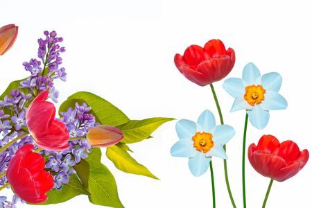 spring flowers lilac isolated on white background. tulip Banco de Imagens