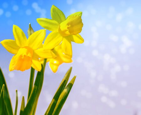 Bright and colorful flowers of daffodils on the background of the spring landscape. outdoor