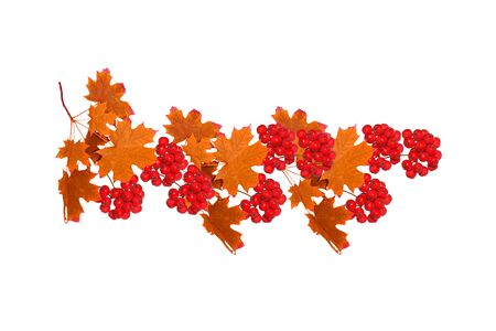 Bright colorful autumn leaves isolated on white background. rowan Reklamní fotografie