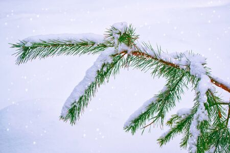 Frozen winter forest with snow covered trees. Coniferous branch. outdoors