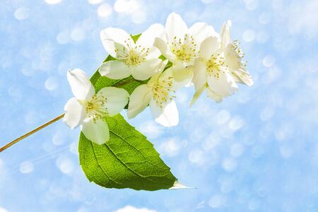 White jasmine. The branch delicate spring flowers. nature Stok Fotoğraf