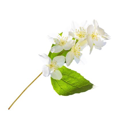 branch of jasmine flowers isolated on white background. nature Stok Fotoğraf