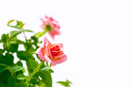 Flower bud roses on a white background. nature Imagens
