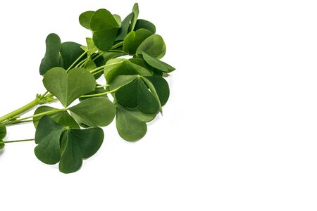 green clover leaves isolated on white background. St.Patrick 's Day. nature