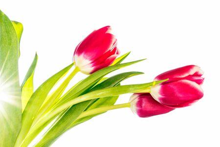 Frühlingsblumen Tulpen lokalisiert auf weißem Hintergrund. Standard-Bild