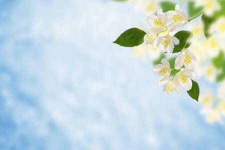 白いジャスミン。枝の繊細な春の花。自然