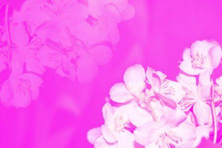 White jasmine. The branch delicate spring flowers Foto de archivo - 137888455