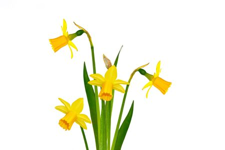 spring flowers narcissus isolated on white background. nature