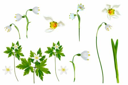 spring flowers  snowdrop isolated on white background.  Stock Photo