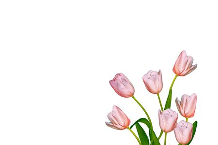 spring flowers tulips isolated on white background. Stok Fotoğraf