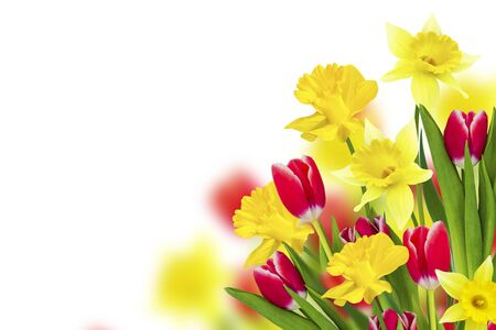 Bright colorful spring flowers of daffodils and tulips isolated on white background.