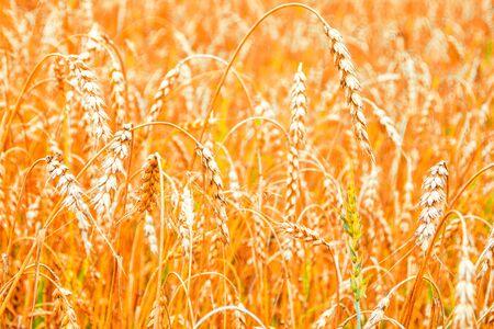 Blurred background. field. spikelets of wheat on a background summer landscape  Foto de archivo