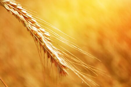 Blurred background. field. spikelets of wheat on a background summer landscape Stok Fotoğraf - 147588495