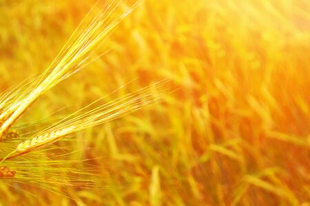 Blurred background. field. spikelets of wheat on a background summer landscape  Imagens