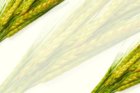 Ripe wheat ears isolated on white background. nature