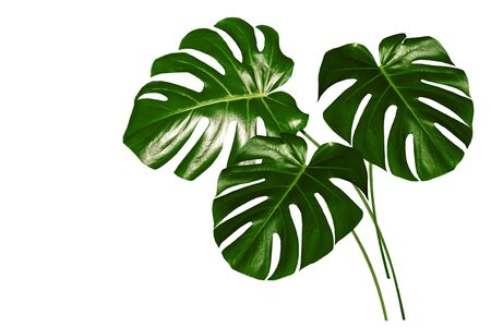 green leaf of a tropical flower monstera isolated on white background. Stock Photo
