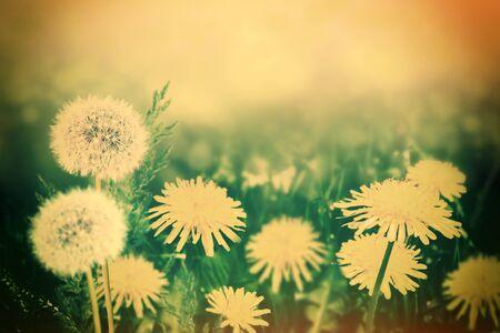 Fluffy dandelion flower against the background of the summer landscape. Wildflower Archivio Fotografico