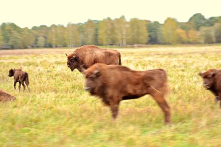 Large horned animals are European bison. Nature.
