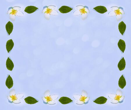 branch of jasmine flowers isolated on blue background. nature Banque d'images