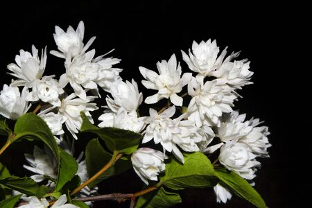 (Hydrangeaceae). white flowers of Fuzzy deutzia blooming isolated on black background. hydrangea Banque d'images
