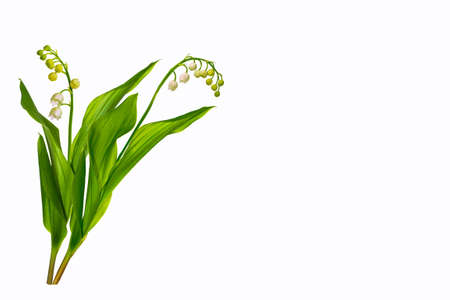 Lily of the valley flower on white background. nature Stock Photo