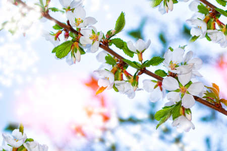 Blossoming branch cherry. Bright colorful spring flowers. Beautiful nature scene