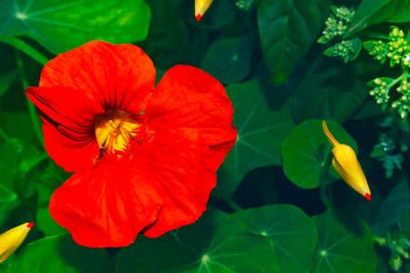Bright nasturtium flowers with green colorful leaves. Archivio Fotografico