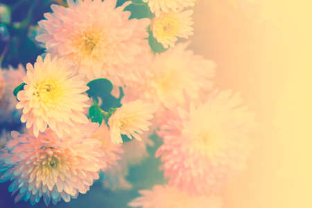 Colorful chrysanthemum flowers on a background of the autumn landscape. nature