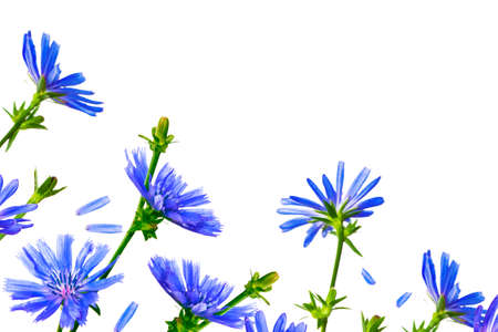 Flowers of common chicory (Cichorium intybus) white background. nature