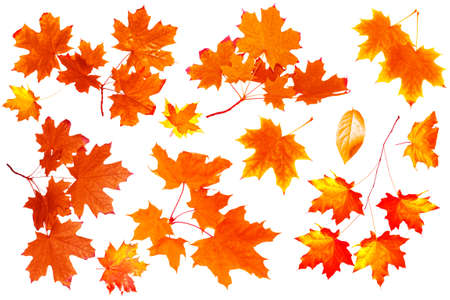 Bright autumn maple leaf on a white background. Isolated foliage. fall collection. Set